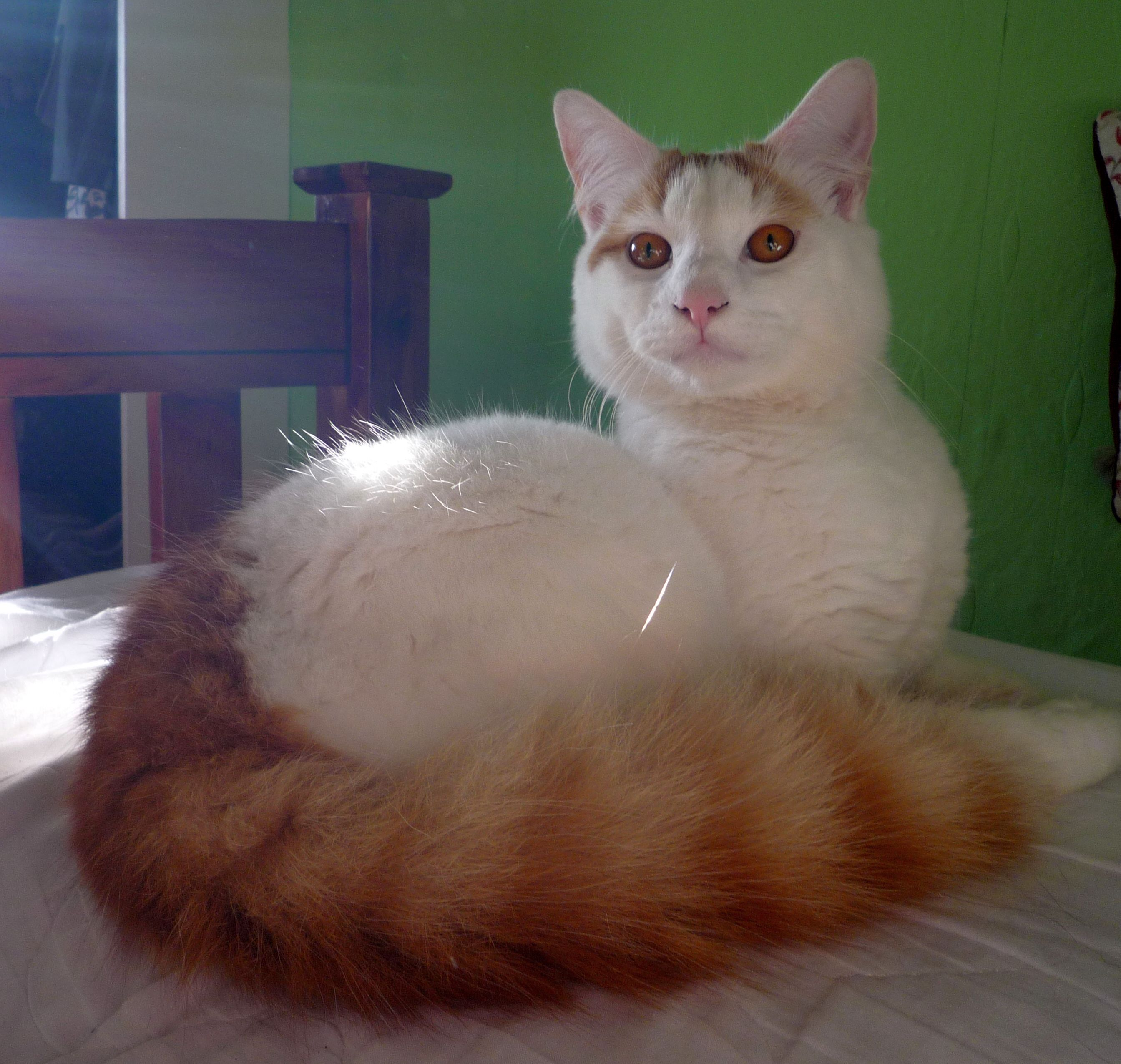 Cat Cat File Morris A Cat Of The Turkish Van Jpg Wikimedia Commons