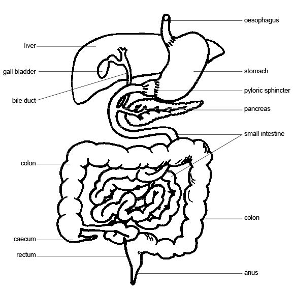 diagram of a stomach