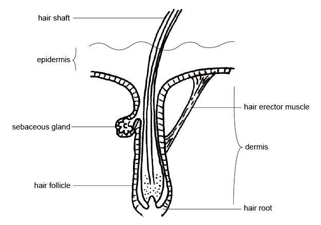 hair anatomy diagram