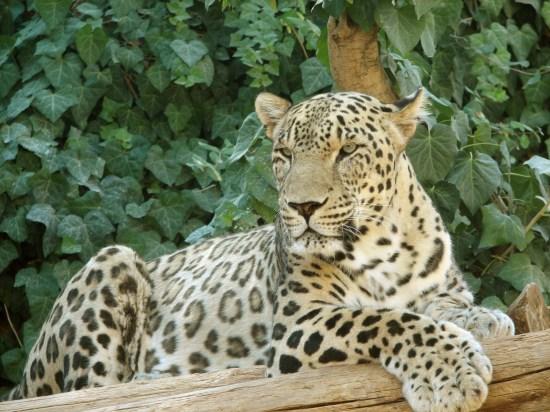 File:Persian Leopard sitting.jpg - Wikimedia Commons
