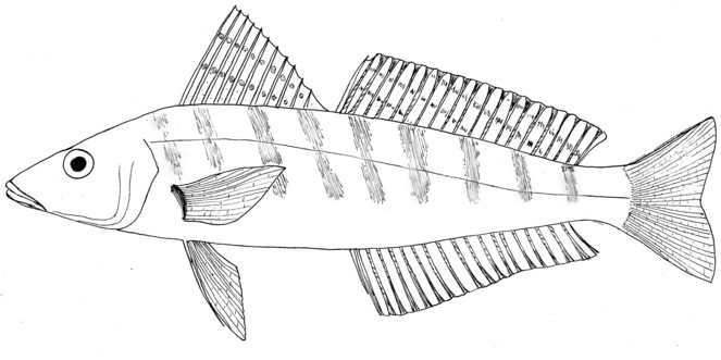 whiting fish diagram