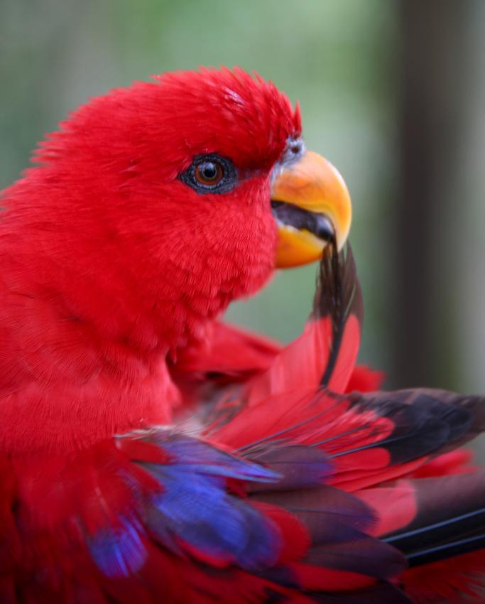 Preening (bird) - Wikipedia