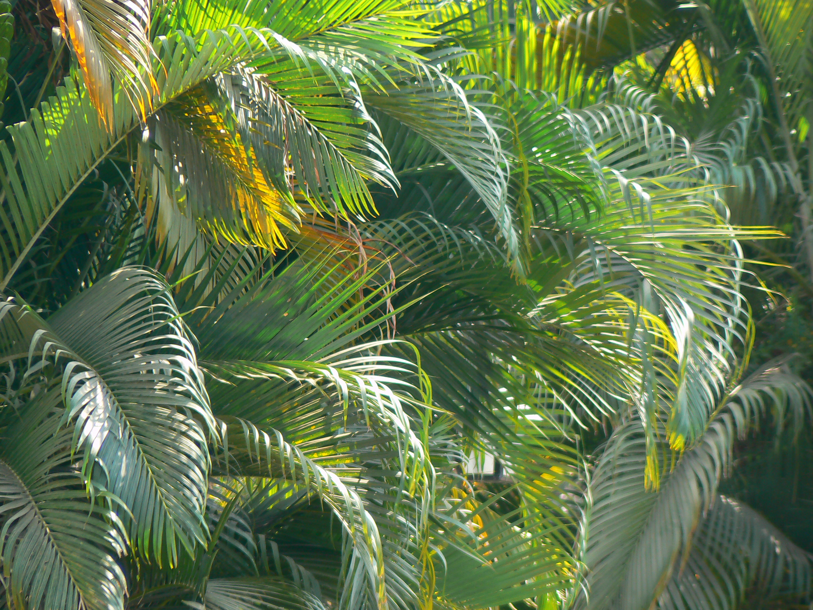Dypsis Lutescens Wikipedia File Butterfly Palm 433835493 Jpg Wikimedia Commons