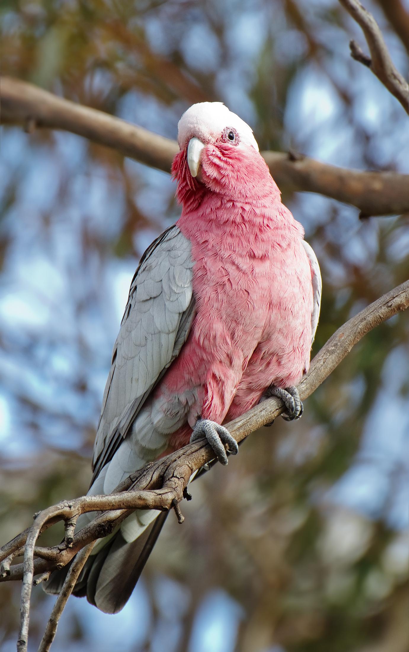 Cute Parakeet Wallpaper Galah Wikipedia