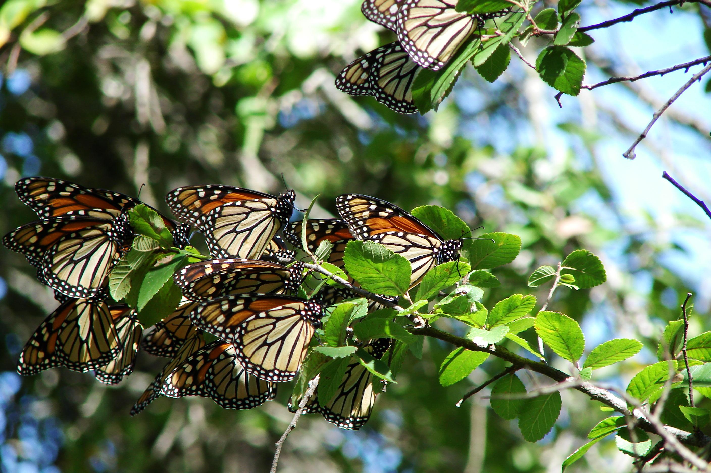 Girl Wallpaper Longitudinal Beautiful Monarch Butterfly Wallpapers Butterfly