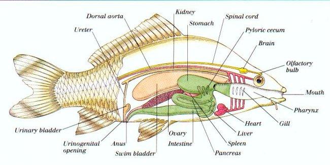 Fish anatomy - Wikipedia