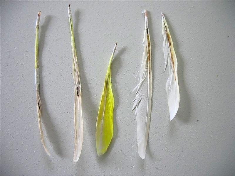 Psittacine beak and feather disease - Wikipedia