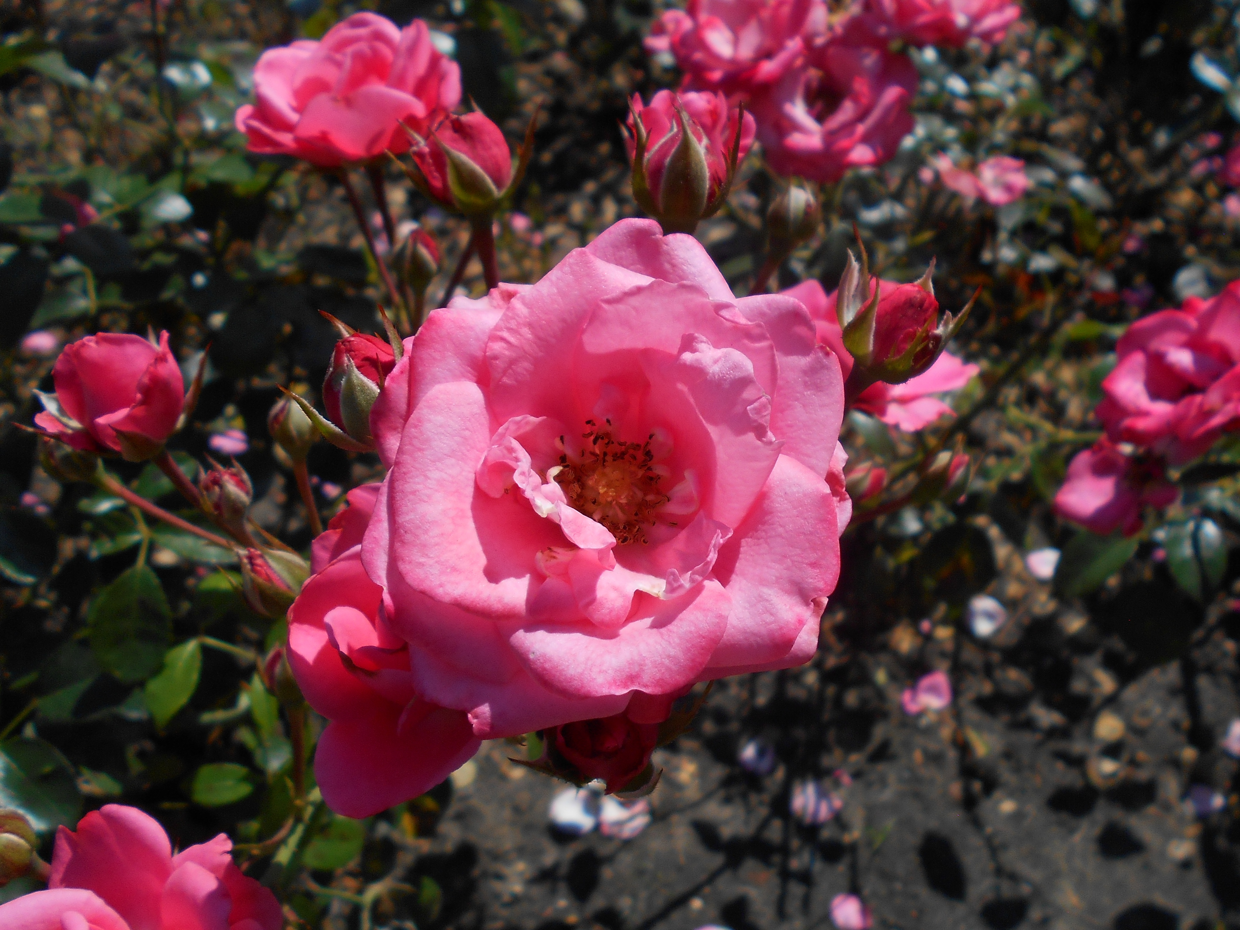 Bella Rosa File Rosa Bella Rosa 2018 07 16 6406 Jpg Wikimedia Commons