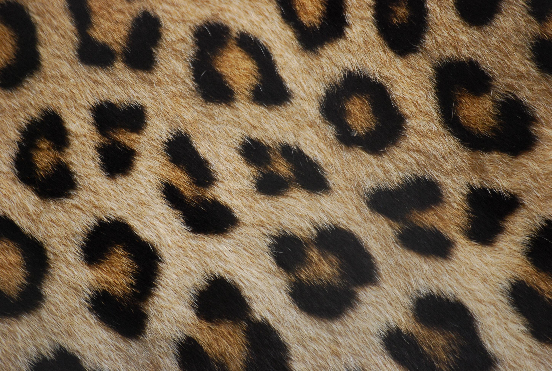 Leopard Animal Print Wallpaper File Leopard Fur Jpg Wikimedia Commons