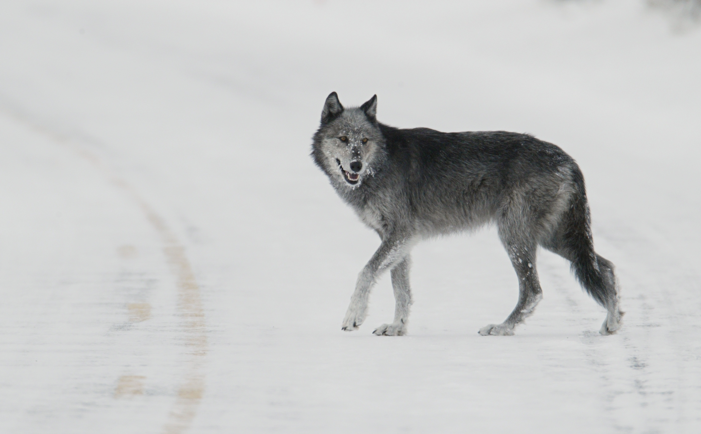 Winter Animal Wallpaper File Black And Grey Wolf Female From Druid Pack Quot Half