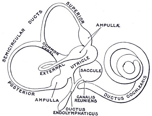 diagram cochlea ampullae
