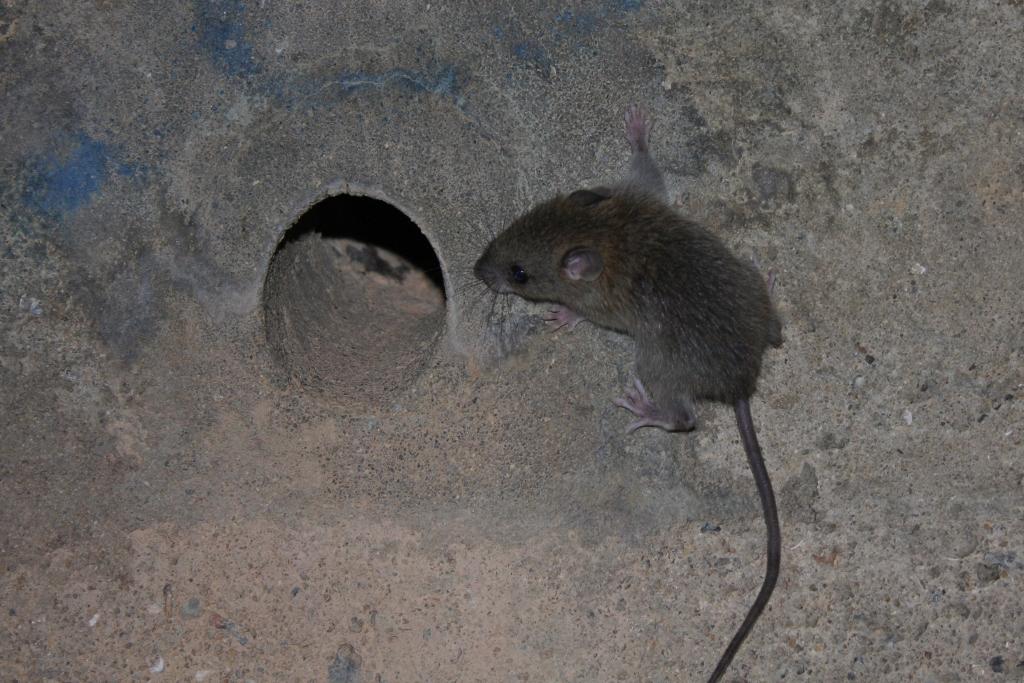 File:Asian House Rat (Rattus tanezumi) - maybe? (6747991715).jpg ...