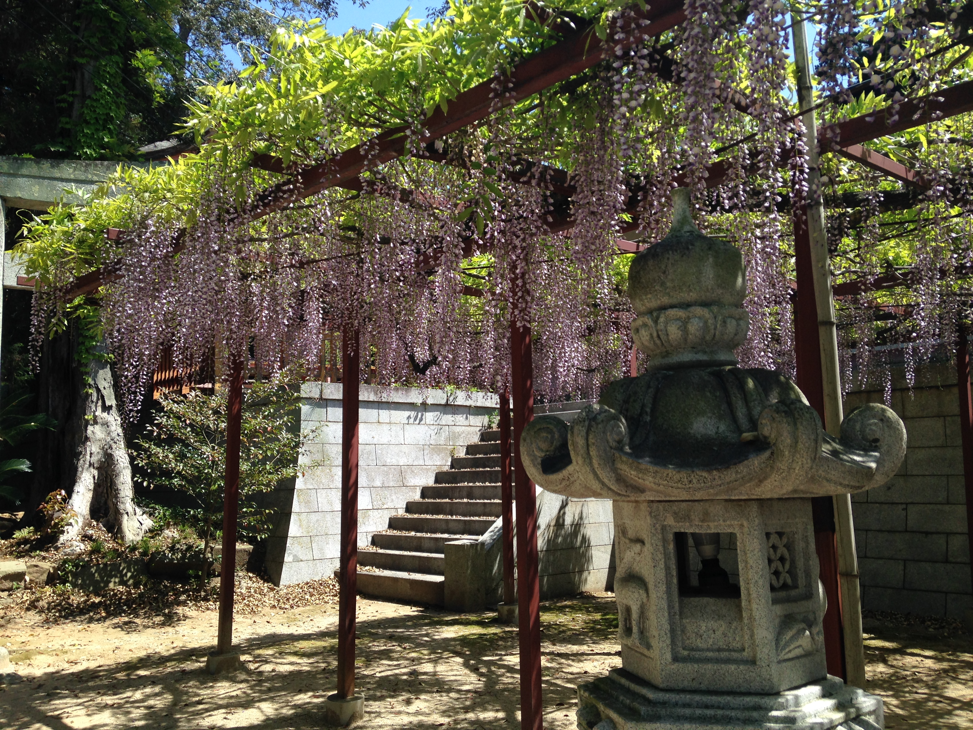 Pergola Glycine File Pergola Of Wisteria Floribunda And Stone Lantern In