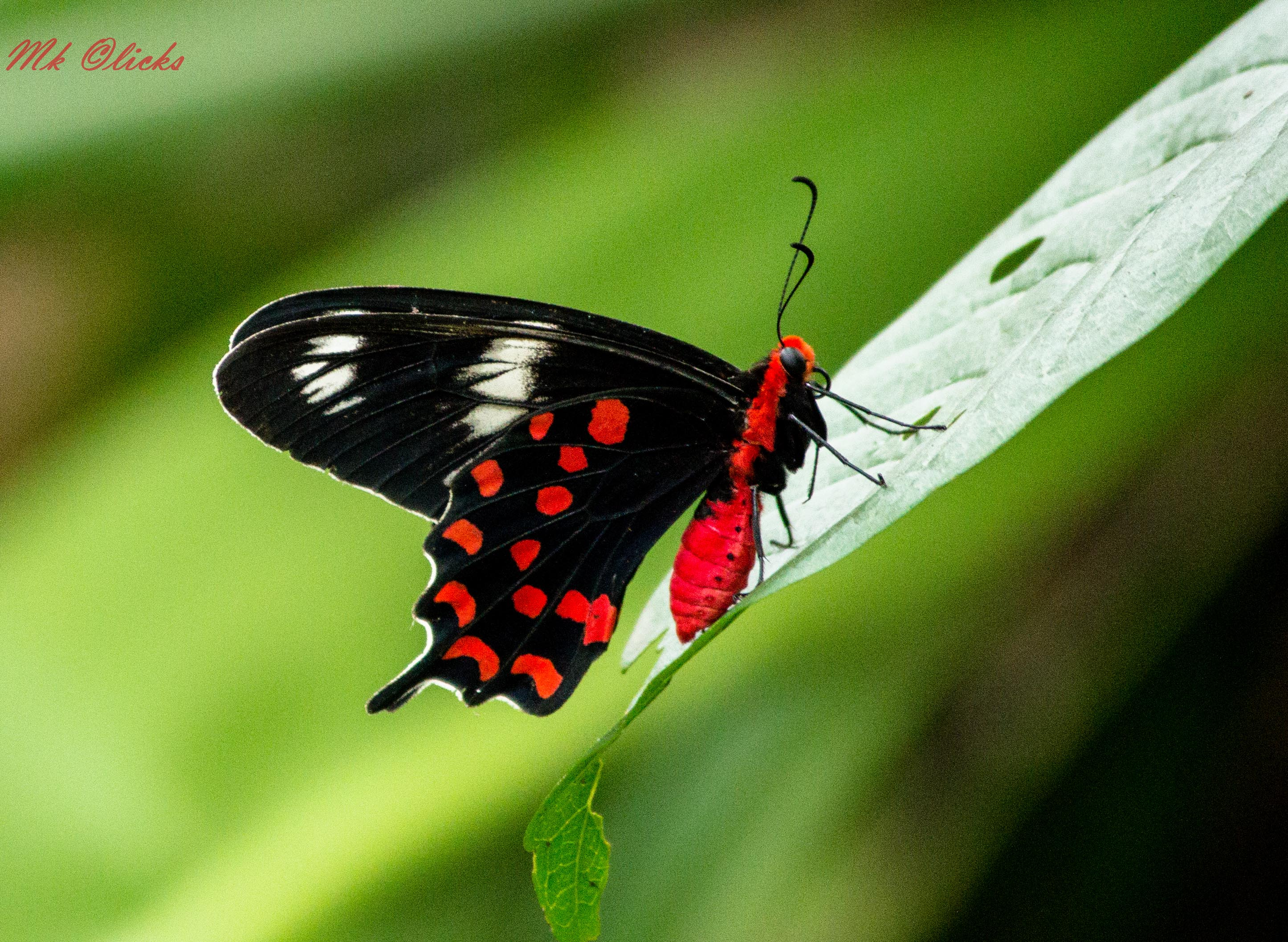 Roter Schmetterling File:black Red Butterfly.jpg - Wikimedia Commons