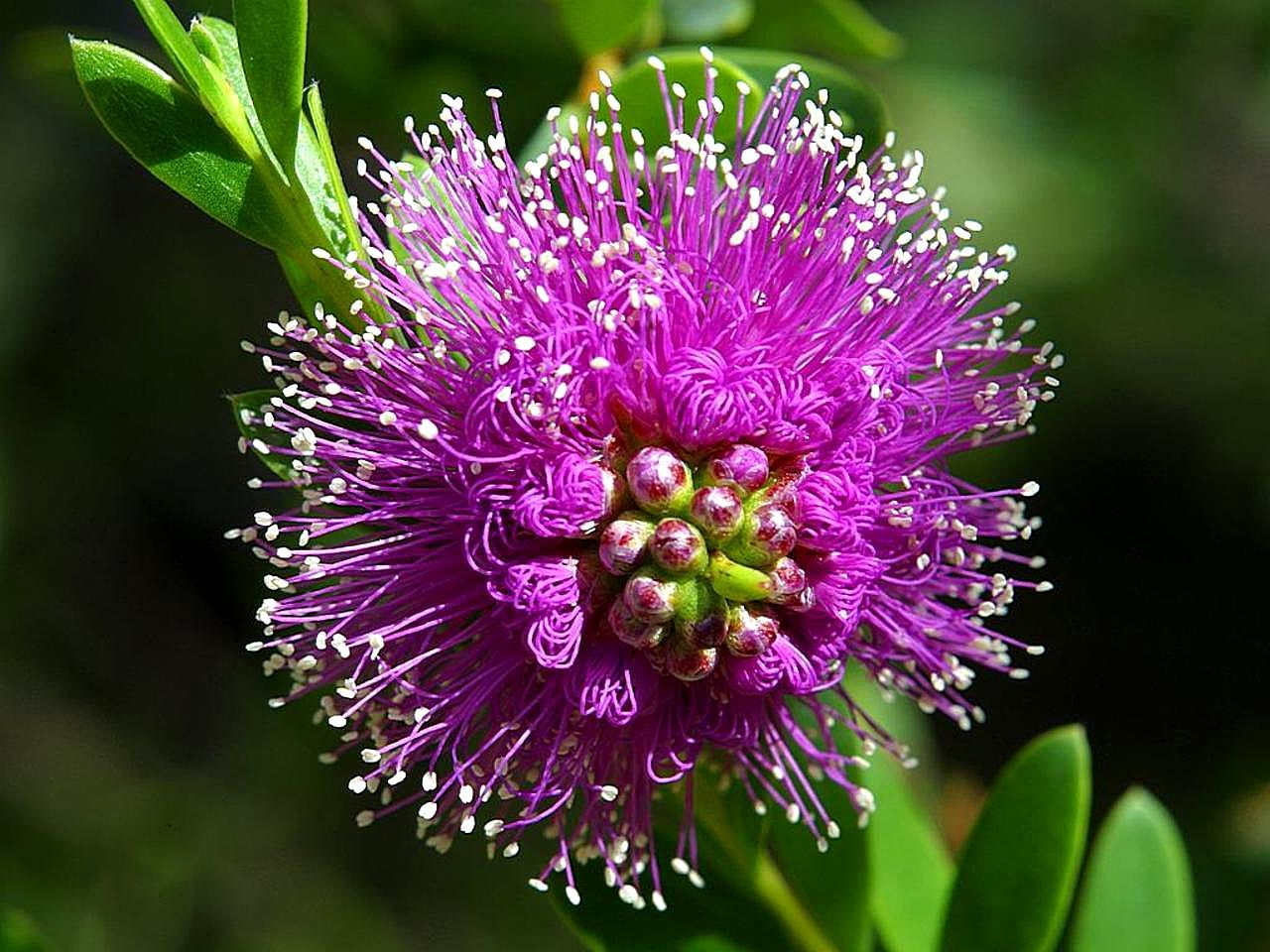 Beautiful Pictures Of Flowers File Beautiful Purple Flower Jpg Wikimedia Commons