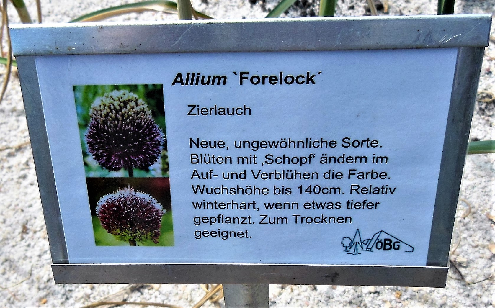 Zierlauch Allium File Allium Forelock Jpg Wikimedia Commons