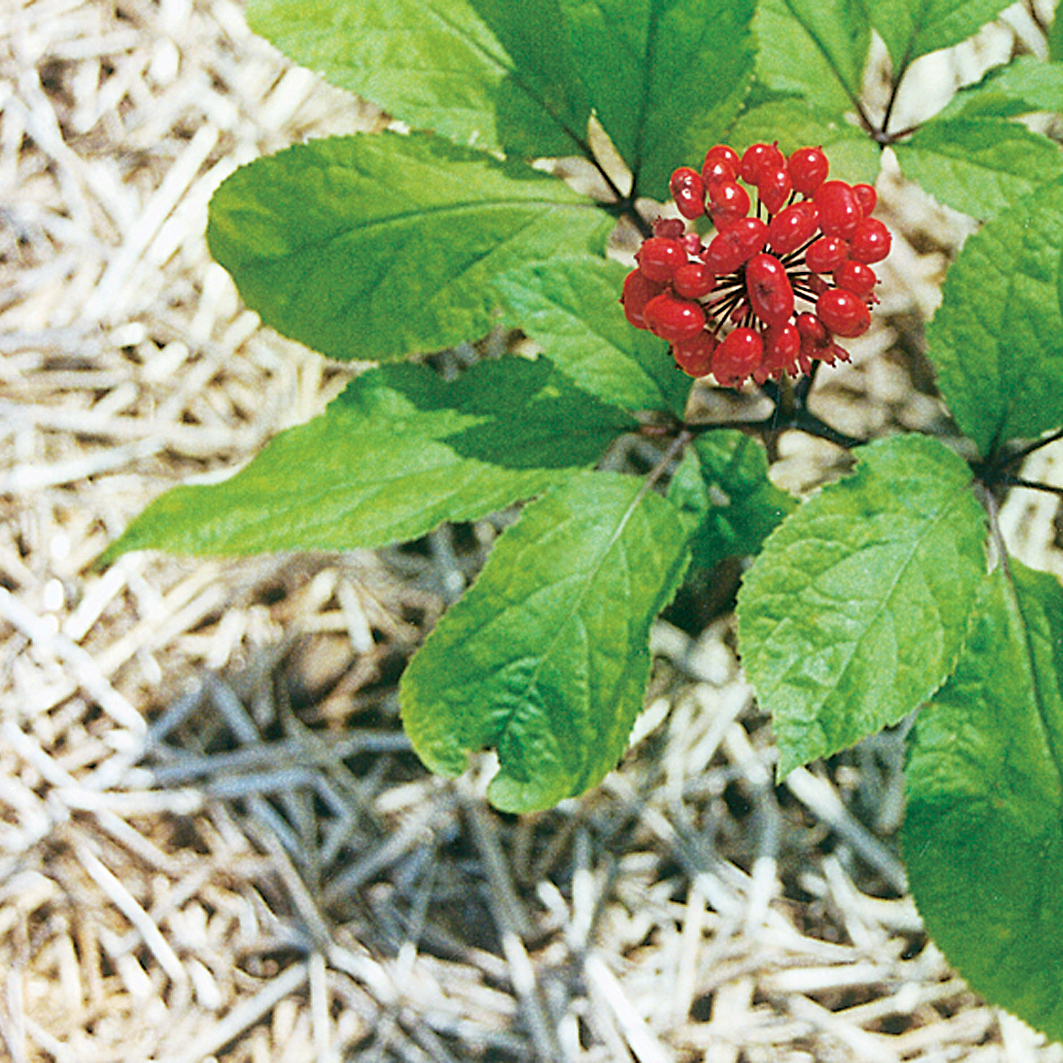 Ginseng In Deutschland Ginseng Wikipedia
