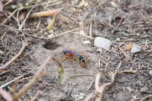 Medium Of Great Golden Digger Wasp