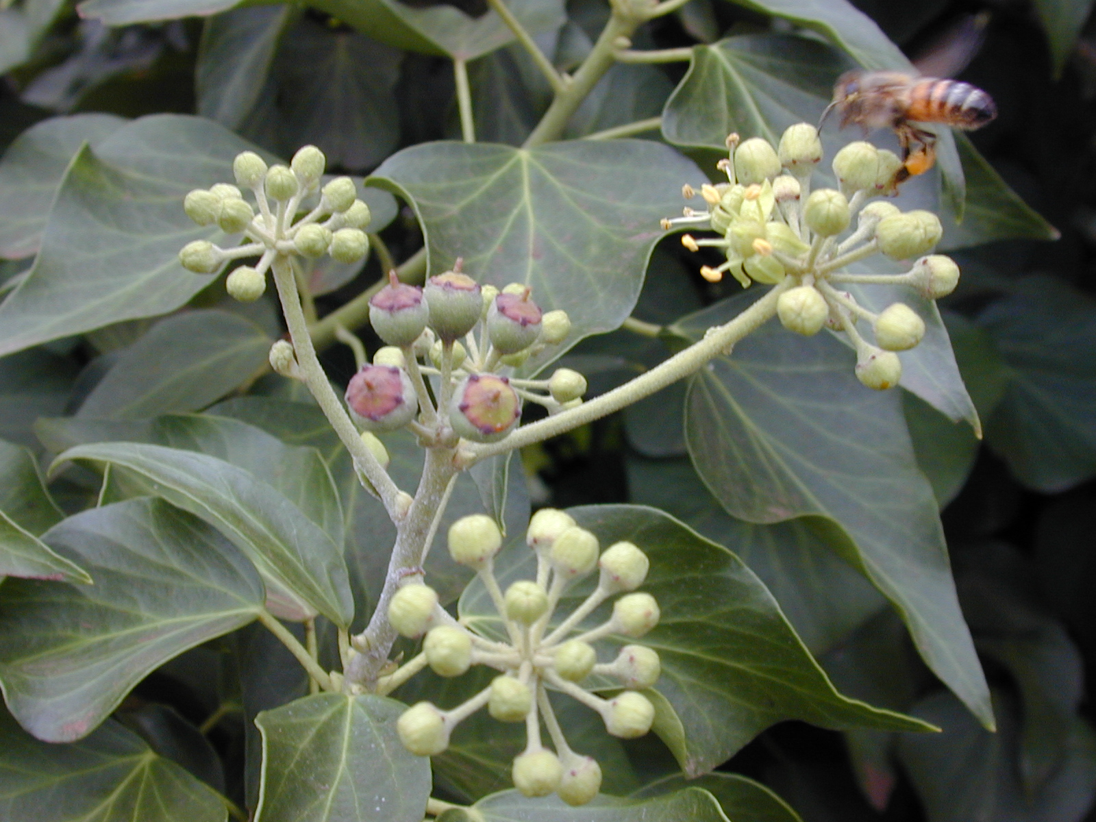 Hedera Helix Hedera Helix English Ivy Phyto Files