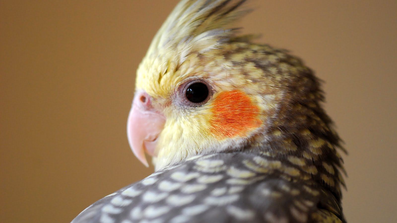 Cute Parakeet Wallpaper File Pearl Cockatiel Jpg Wikimedia Commons