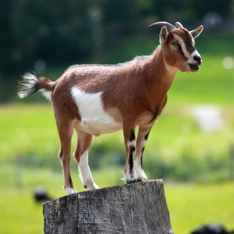 Goat - your future - good for you!
