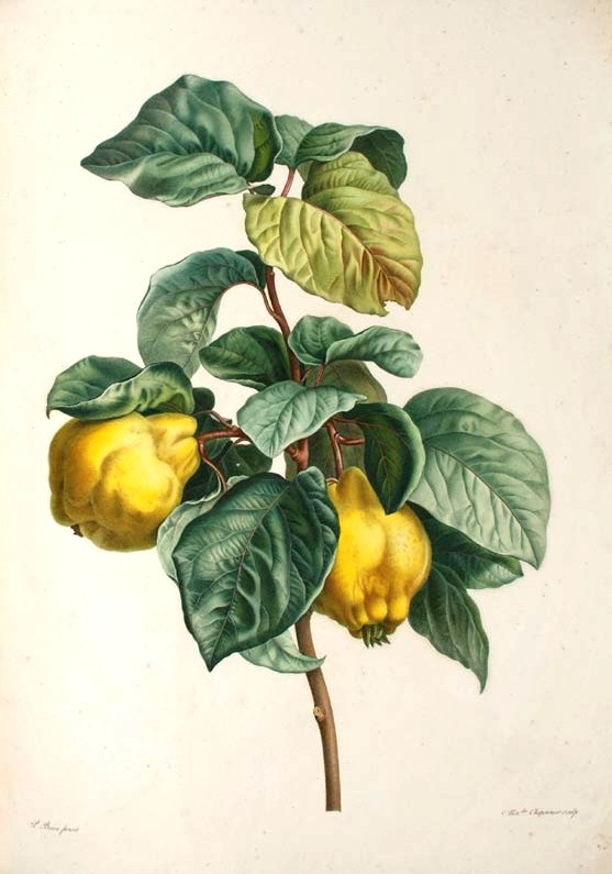 Quince - Wikipedia