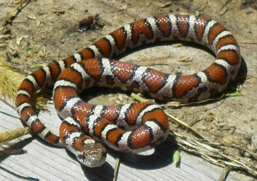 Eastern milk snake - Wikipedia