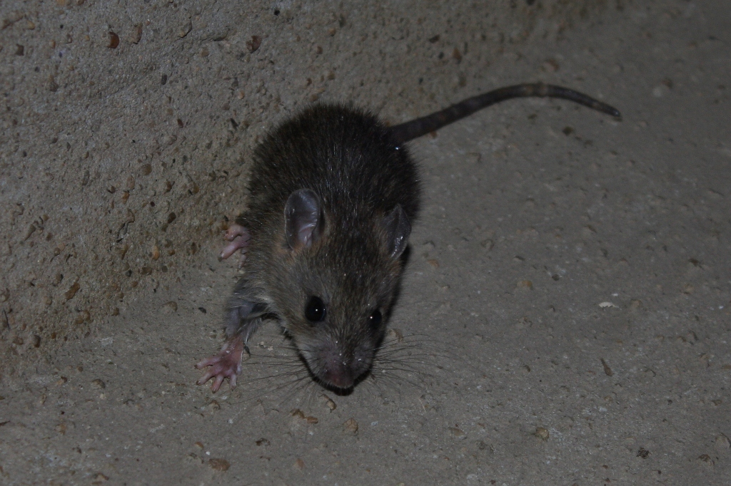 File:Asian House Rat (Rattus tanezumi) - maybe? (6105401299).jpg ...
