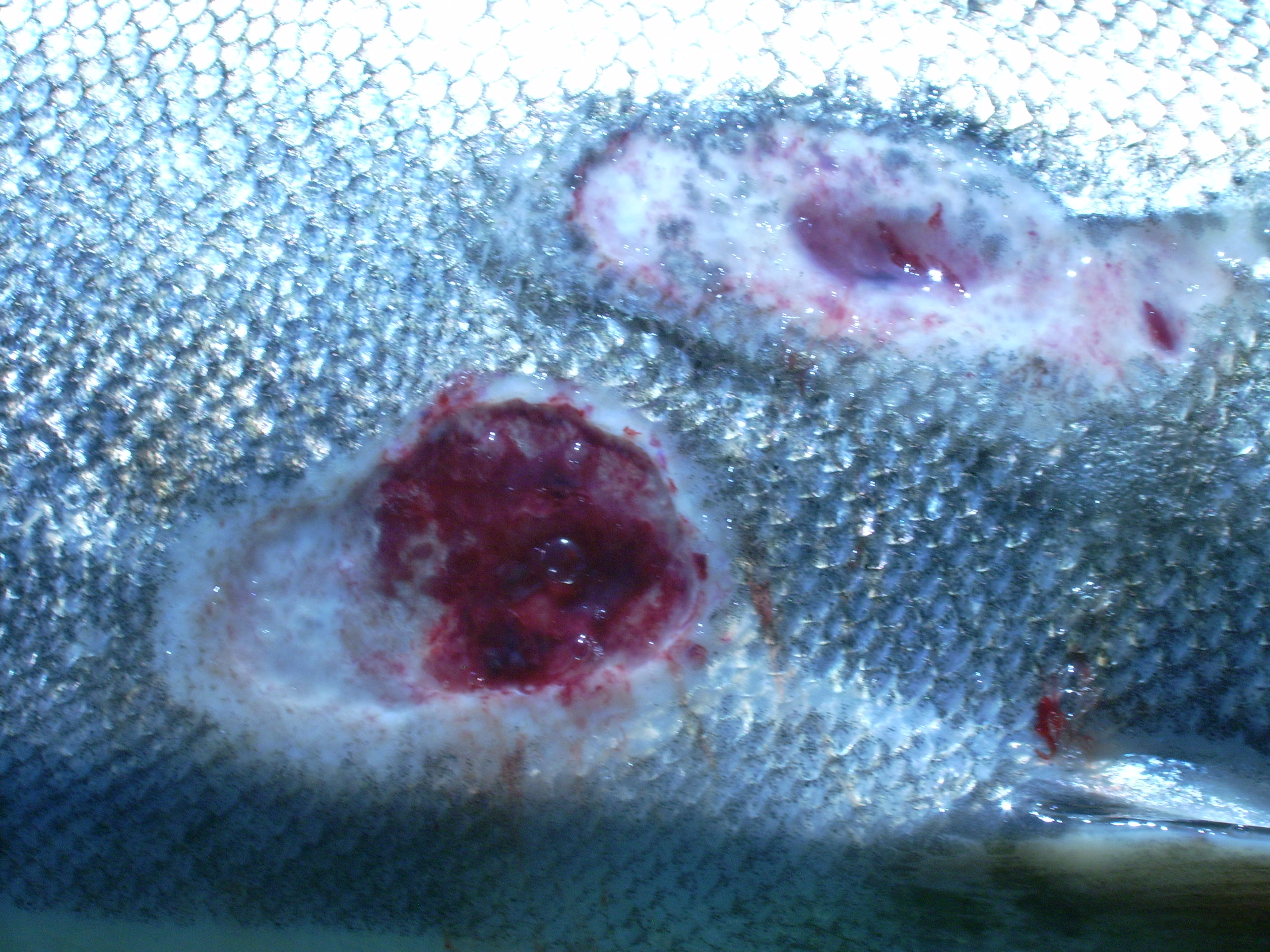 Sea Lamprey Bite File Sea Lamprey Wounds Garden R Jpg Wikimedia Commons