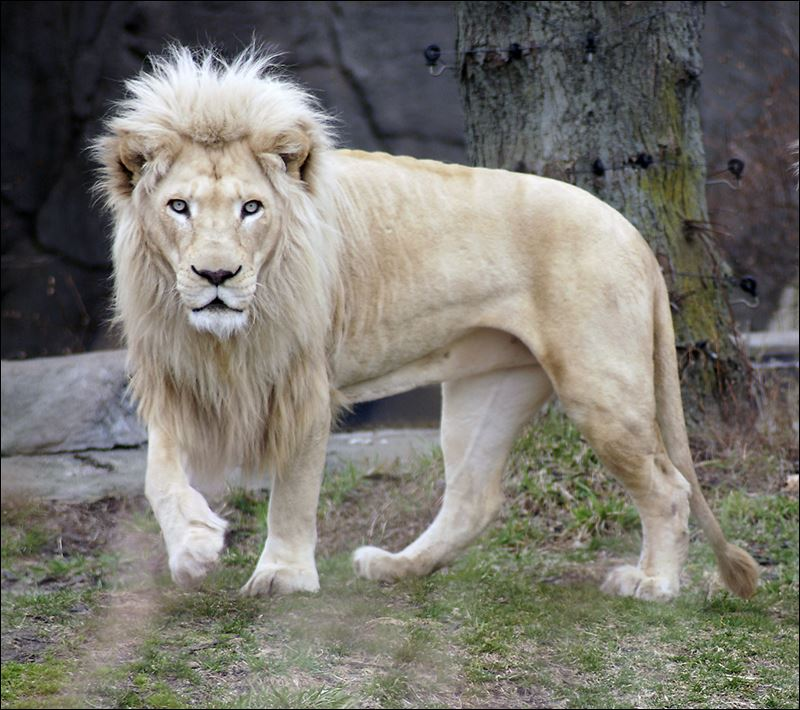 Safari Animal Wallpaper File White Lion Images 20 Jpg Wikimedia Commons