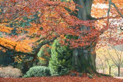 Small Of Copper Beech Tree