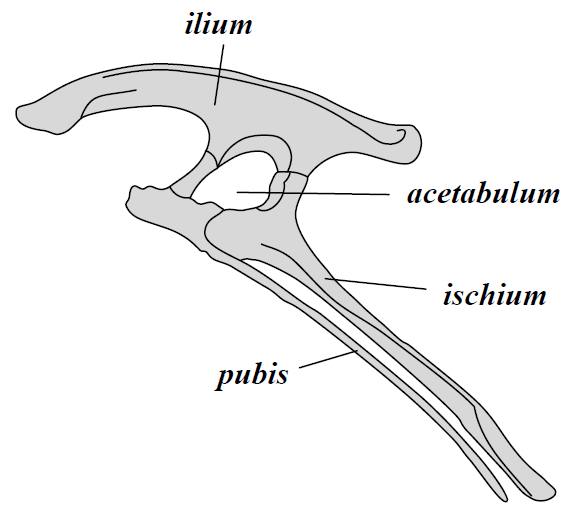 pubis diagram