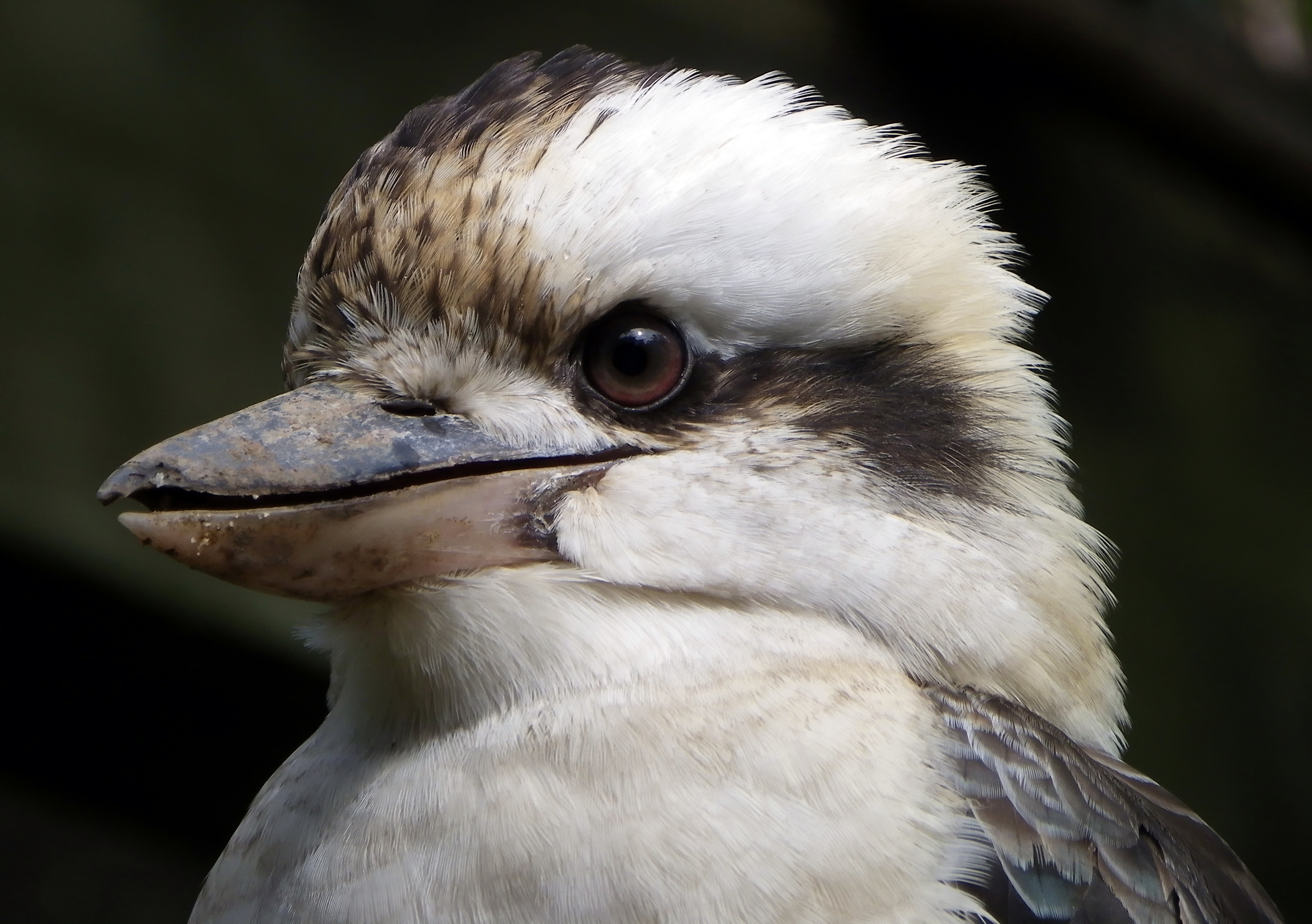 Animals And Birds Wallpaper File Laughing Kookaburra Tamborine Mountain 001 Jpg