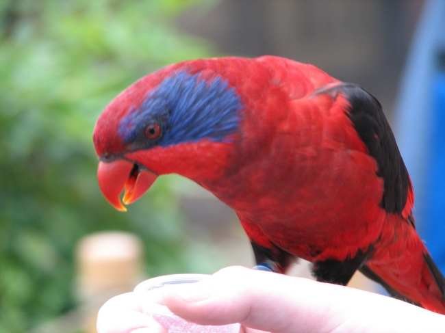 Black And Orange Wallpaper Black Winged Lory Wikipedia