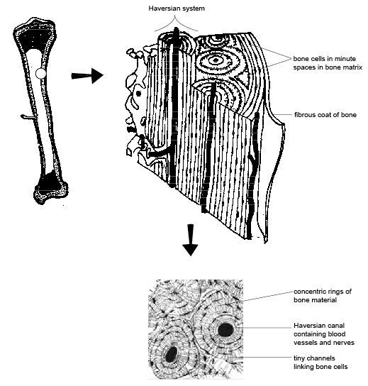 diagram of connective tissue