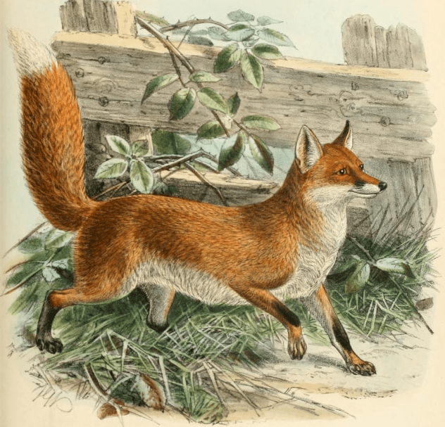 Fall Woodland Creatures Wallpaper File Keulemans Common Fox Png Wikimedia Commons
