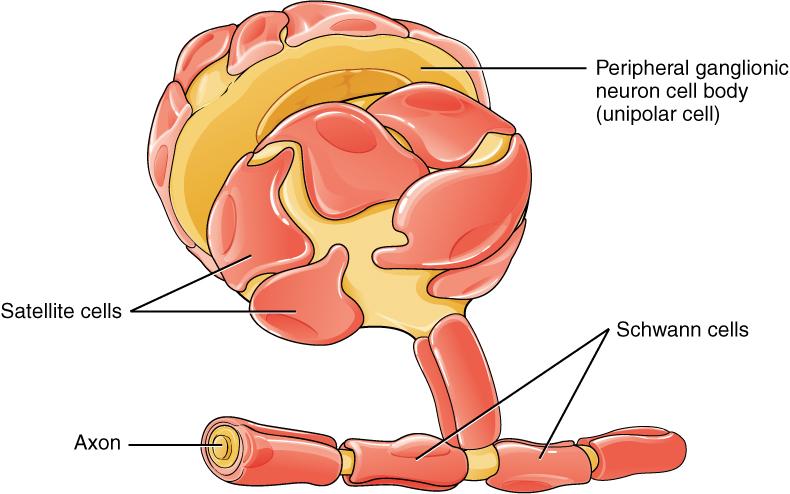 Schwann cell - Wikipedia
