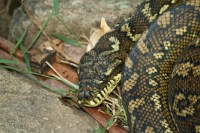 File:Carpet Python in Lamington National Park, Queensland ...