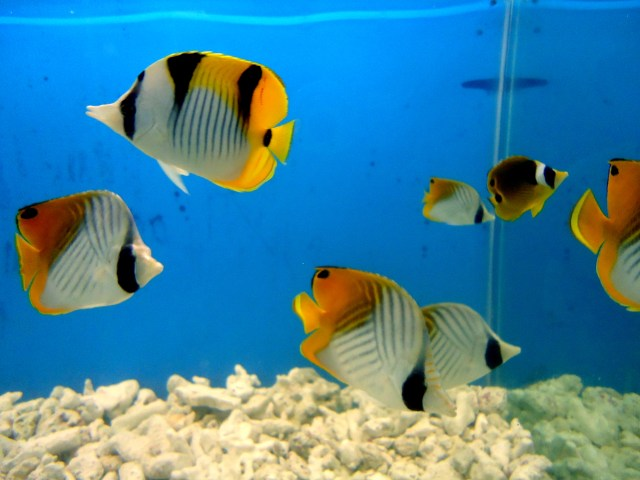 File:Yellow Aquarium Fish   Wikimedia Commons