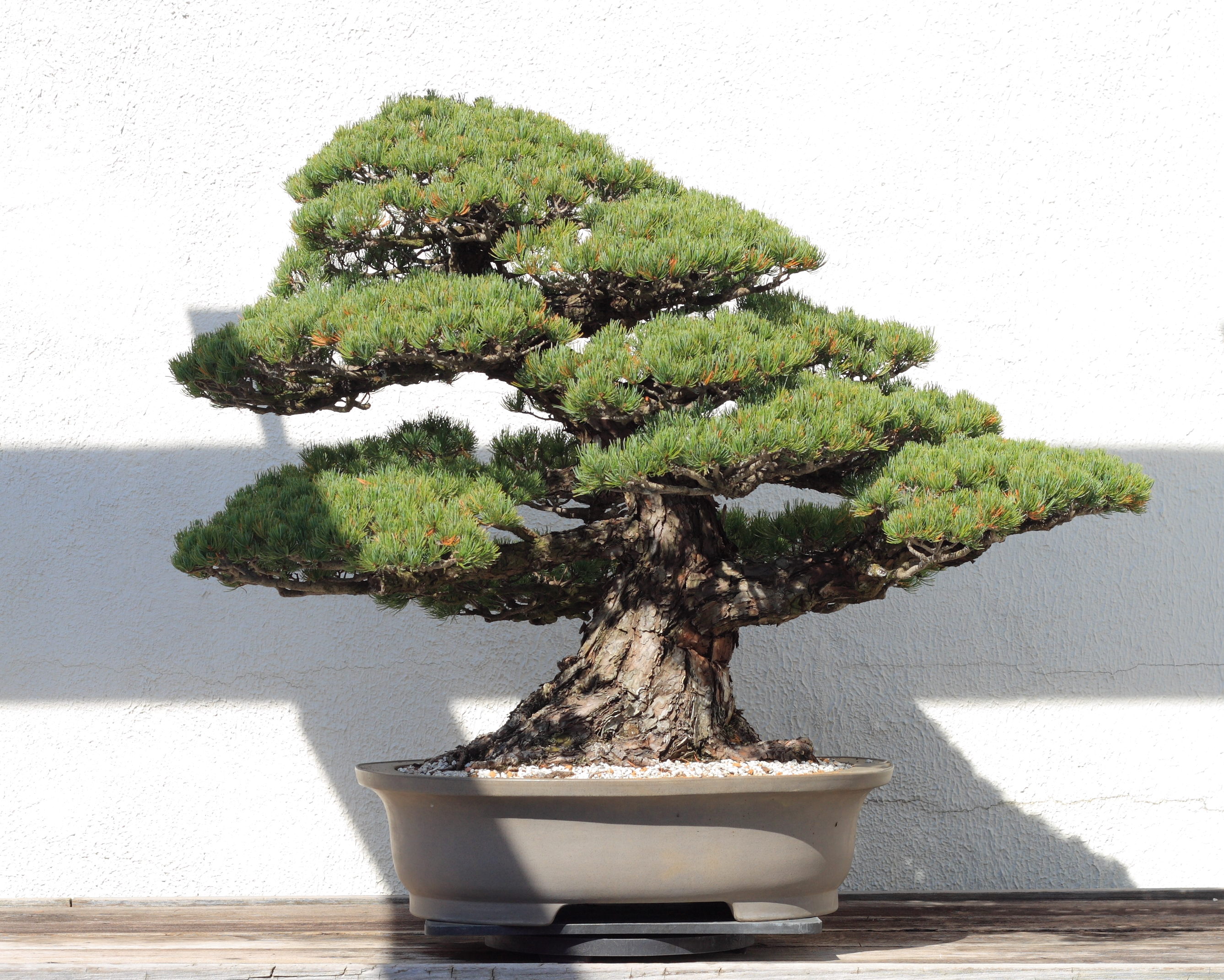 Camera Exterieur Google Home File:japanese White Pine Bonsai 81, October 10, 2008.jpg