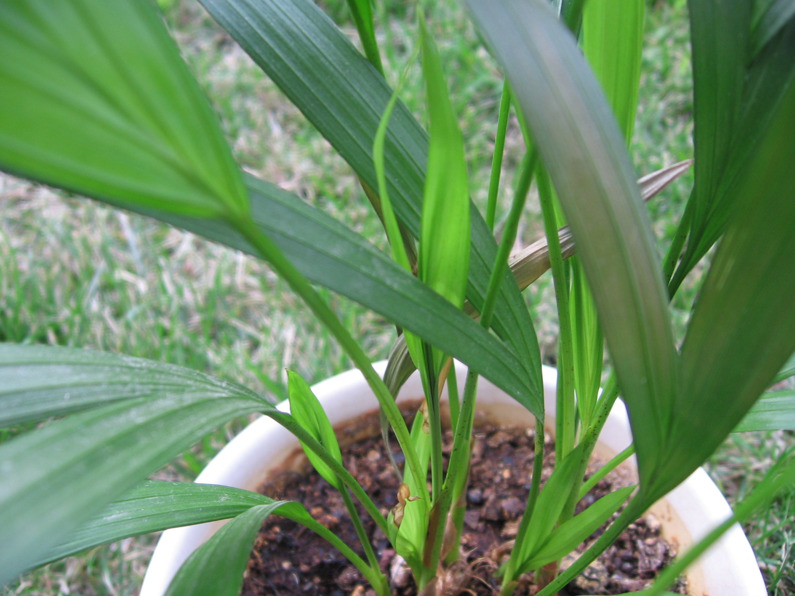 Dypsis Lutescens Wikipedia File Dypsis Lutescens 03 Jpg Wikimedia Commons