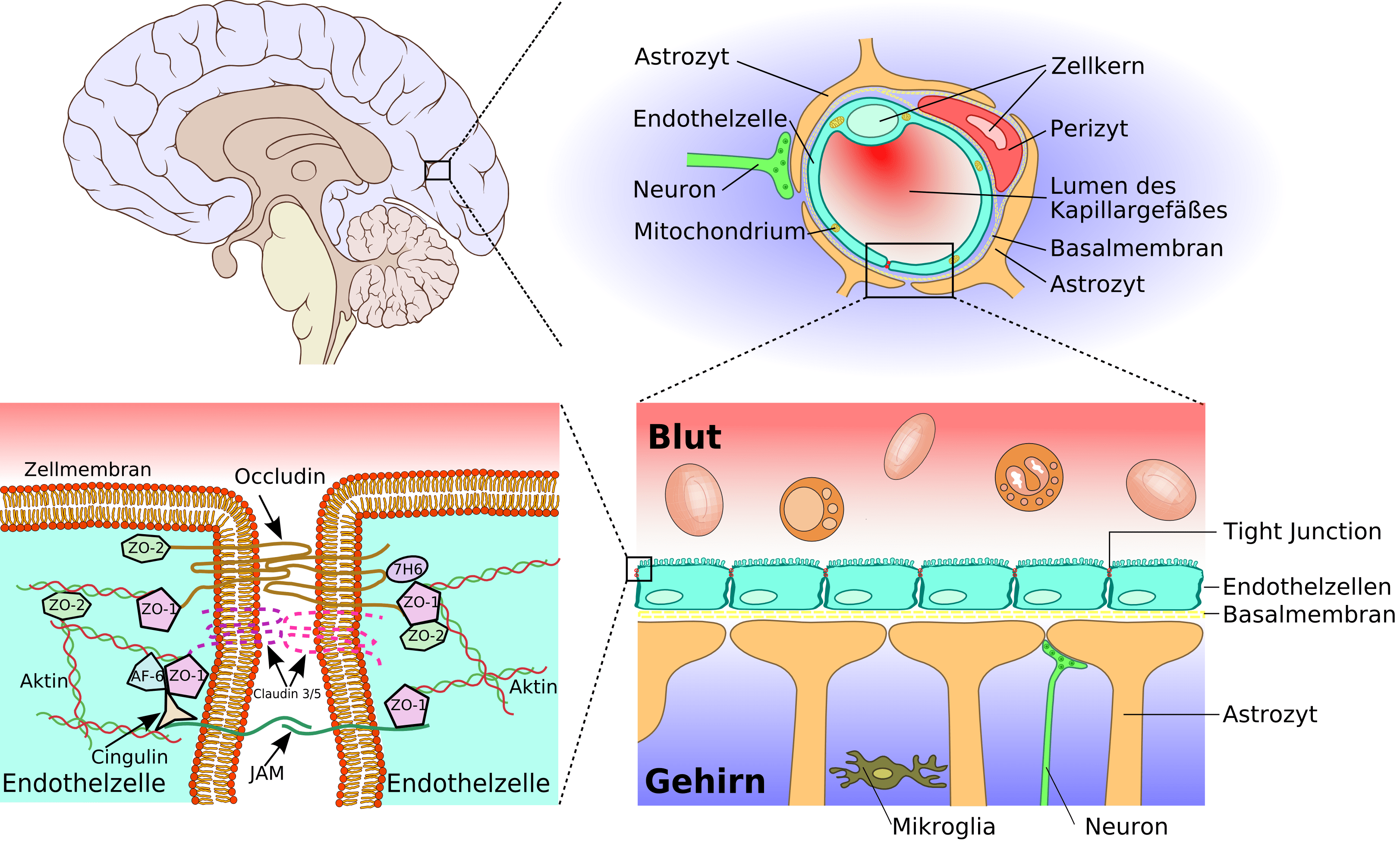 Schranke Clipart File Blood Brain Barrier 02 Png Wikimedia Commons