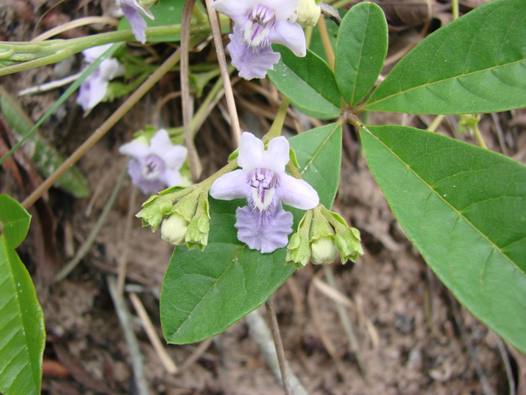 Read The Book Online Vitex Megapotamica - Wikispecies
