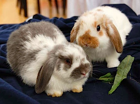 Rabbit Breeds That Will Always Stay Small Coops  Cages Coops And