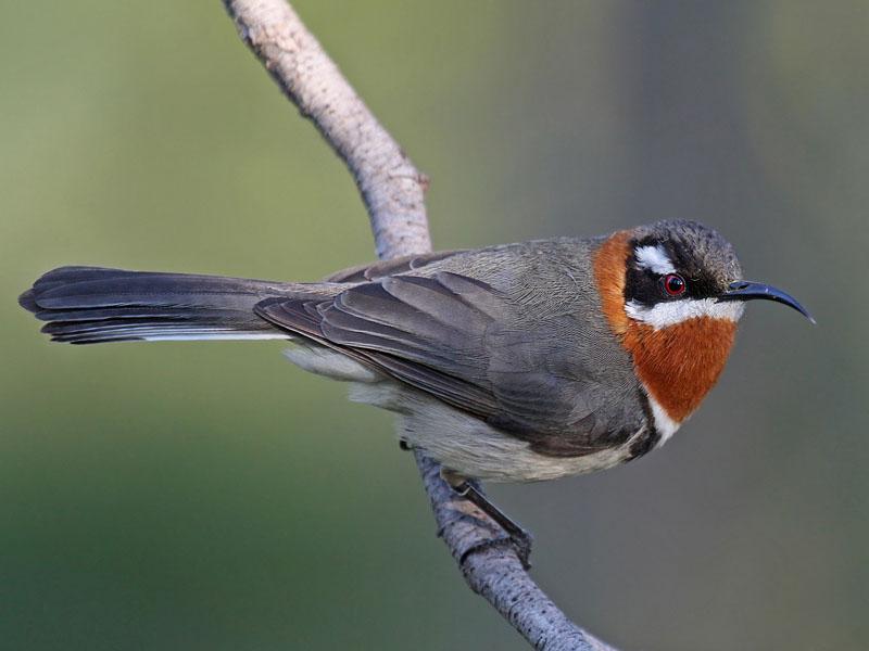 da bird