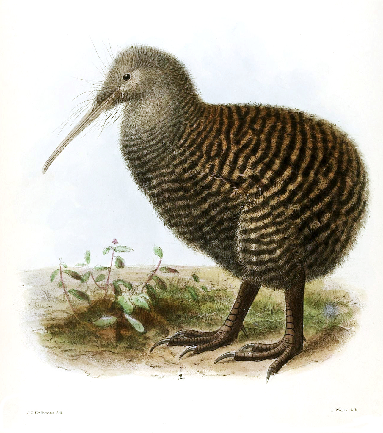 Transparant Zeil Gamma Great Spotted Kiwi Wikipedia