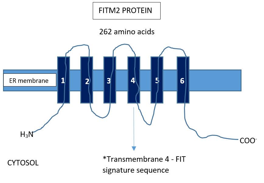 FileFITM2 Protein Structurejpg - Wikimedia Commons