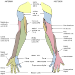 Radial Nerve Cutaneous Distribution