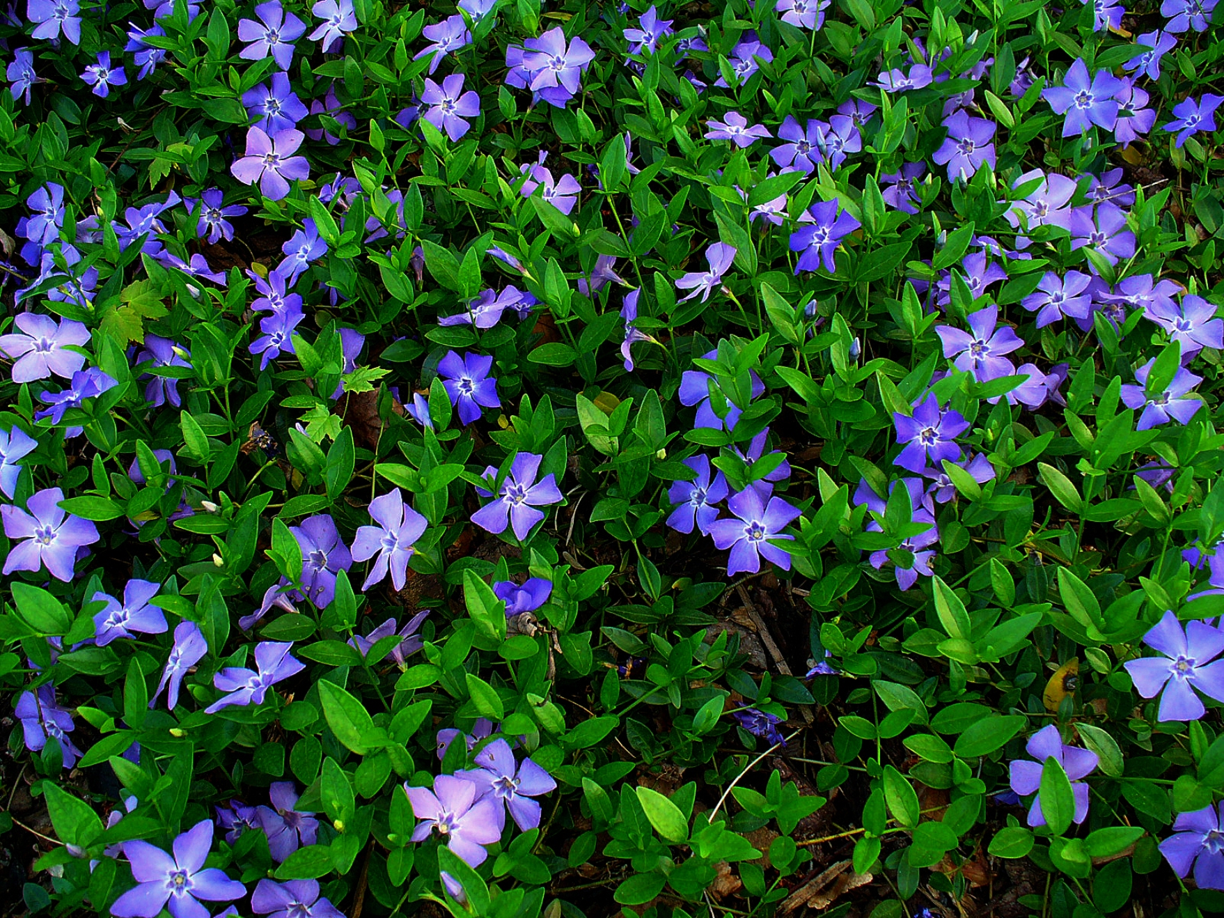 Bodendeckerpflanze File Vinca Minor 001 Jpg