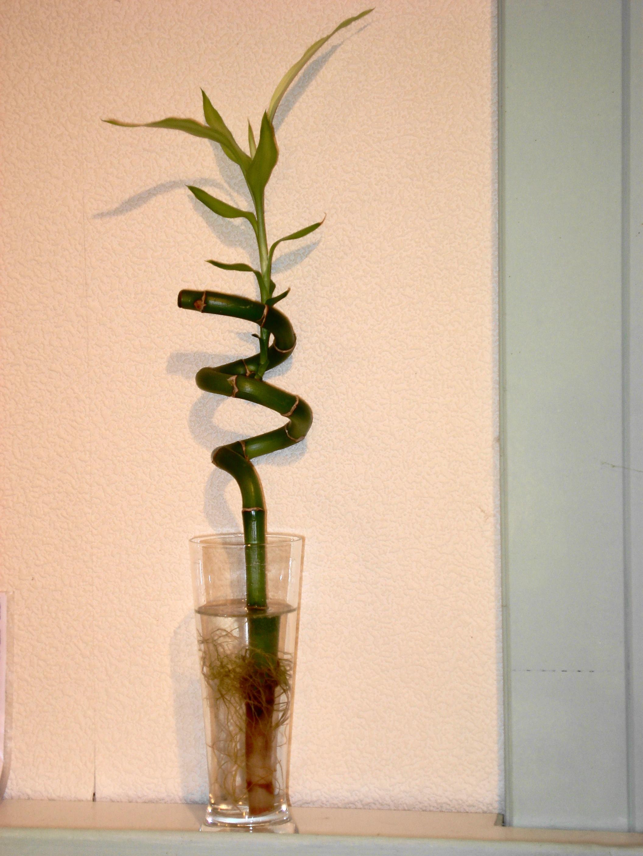 Comment Bouturer Un Bambou D Interieur Bambou Fargesia Planter Et